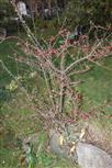 Gewöhnliche Zwergmispel(Cotoneaster integerrimus(Medik.))