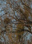 Weißbeerige Misteln(Viscum album(L.)) an Laubbäumen(hier Rotbuchen(Fagus sylvatica(L.))