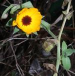 Ringelblume(Calendula officinalis(L.)) im Dezember blühend