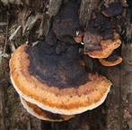 Rotrandiger Baumschwamm bzw. Fichtenporling(Fomitopsis pinicola(Fomitopsis pinicola (Sw. ; Fr.) P. Karst.)