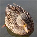 Weibliche Stockente(Anas platyrhynchos(L. 1758))