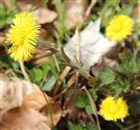 Huflattich(Tussilago farfara(L.)) mit Insektenbesuch(Lucilia)