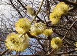 Männliche Kätzchen der Salweide(Salix caprea(L. ))