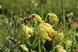 Echte Schlüsselblume(Primula veris(L.))
