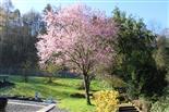 Japanische Blütenkirsche(Prunus serrulata(Lindl.))