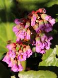 Herzblättrige Bergenie(Bergenia(Moench) cordifolia)
