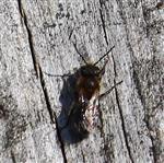 Sandbiene(Andrena carantonica(Perez 1902))