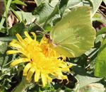 Zitronenfalter(Gonepteryx rhamni(L. 1758)) auf einer Löwenzahnblüte rastend