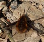 Hummel- bzw. Großer Wollschweber(Bombylius major(Latreille 1802)) 1