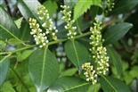 Blütenknospen der Lorbeerkirsche