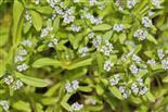 Wald-Vergissmeinnicht(Mypsotis sylvatica(Ehrh. ex Hoffm.))