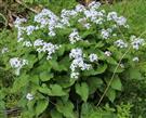 Ausdauerndes Silberblatt(Lunaria rediviva(L.))
