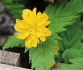Goldauge(Kerria japonica(L. )DC.)