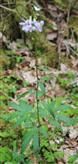 Zwiebeltragende Zahnwurz(Cardamine bulbifera(L.))