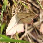 Ampferspanner(Timandra comae(Schmidt 1831))