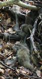 Reste eines verendeten Rotfuches(Vulpes vulpes(L. 1758))(jung)