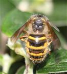 Gemeine Wespe(Vespula vulgaris(L. 1758)) (in Rückenansicht) an der Gewöhnlichen Zwergmispel(Cotoneaster integerrimus(L.))