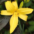 Blüte einer gelben Taglilie(Hemerocallis lilioasphodelus(L.))