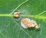 Zweifleck-Kugelspinne(Neottiura bimaculata)