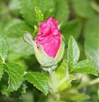 Knospe einer Kartoffelrose(Rosa rugosa(L.))