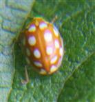 Sechszehnfleckiger Pilz-Marienkäfer(Halyzia sedecimguttata(L. 1758))