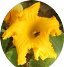 Westliche Honigbiene(Apis mellifera(L. 1758)) beim Besuch einer Blüte einer Kürbispflanze(Cucurbita pepo(L.))