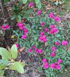 Purpurblütiges Leinkraut(Linaria purpurea(L.))