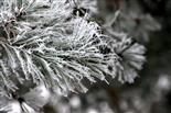 Kiefernnadeln einer Waldkiefer(Pinus sylvestris(L.)) mit Raureif