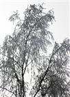 Hängebirke(Betula pendula(Roth)) beraureift