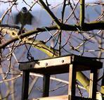 Blaumeise(Cyanistes caeruleus(L. 1758)) im Anflug