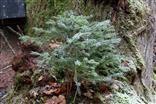 Fichtenaufwuchs(Picea abies(A.Dietr.)) auf einer Eberesche(Sorbus aucuparia(L.))