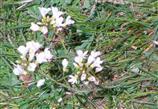 Wiesen-Schaumkraut(Cardamine pratensis(L. ))