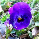 Blaues Stiefmütterchen(Viola)