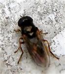 Gänsedistel-Erzschwebfliege(Cheilosia caerulescens)