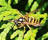 Gemeine Wespe(Vespula vulgaris(L. 1758)) wohl auch von den Assimilaten der Scheinzypresse(Chamaecyperis(Spach))