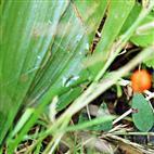 Maiglöckchen(Convallaria majalis(L.)) mit Beere
