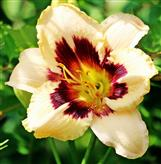 Blüte einer Lilie(Lilium bosniacum(Beck Ex Fritsch)