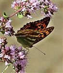 Kaisermantel(Argynnis paphia(L. 1758)) 01