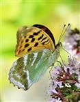 Kaisermantel(Argynnis paphia(L. 1758)) 02