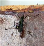 Asiatische Buschmücke(Aedes japonicus(Theobald 1901))  - ein etwas