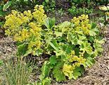 Gewöhnlicher Frauenmantel(Alchemilla vulgaris(L.))