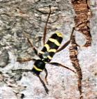 Echter Widderbock(Clytus arietis(L. 1758))