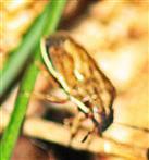 Getreidewanze oder Spitzling(Aelia acuminata(L. 1758)