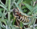Gemeine Wespe(Vespula vulgaris(L. 1758)) an Lavendel(Lavandula(L.)) kletternd