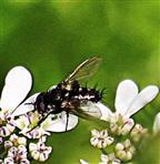 Raupenfliege(Labigastera forcipata(Meigen 1824))