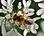 Gemeine Sandbiene(Andrena flavipes(Panzer 1799)) beim Blütenbesuch