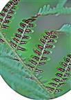 Sori auf der Unterseite eines Farnblattes bzw. -wedels des Wurmfarnes(Dryopteris filix-mas(Adans.))