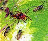Hornisse(Vespa crabro(L. 1758)) noch duldsam gegenüber anderen Insektenbesuchern auf dem Kompost