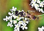 Blattwespe(Tenthredo arcuata(Forster 1771))