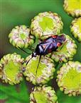 Die Rote Weichwanze(Deraeocoris ruber(L. 1758))